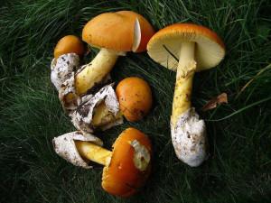 Edible Amanita Caesarea picture looks like Amanita Caesarea. Where can I find a mushroom tsezarsky description
