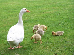 geese breeding in the country, the geese in the home, how to keep the right of geese in the country, how much time is growing goose