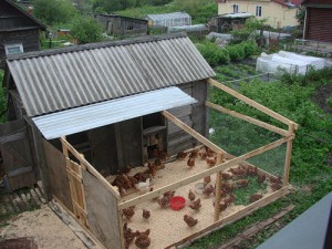 Chickens hens in the country, home contents laying hens, content and feeding of laying hens in the country, feeding the hens laying hens at home