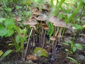 The fungus inedible conocybe photo and description of non-edible and poisonous mushrooms. Pictures of poisonous mushrooms for parents and children