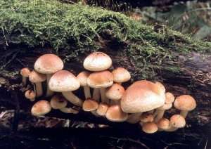 Honey agaric mushroom inedible brick-red photo and description of non-edible mushrooms. What is false honey agaric summer.