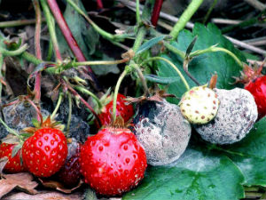 How to treat diseases of strawberry. Pests strawberries, how to treat and deal with pests, diseases