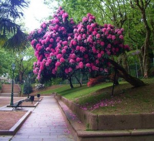 Rhododendron flower garden tree, care and cultivation in the home. How to grow rhododendrons in the winter