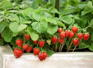 How to grow a garden strawberries in a greenhouse or in the country, description, care and cultivation of strawberry