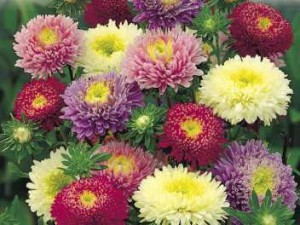 Care Aster, planting and growing of perennial and annual species Asters in the home garden with his own hands. Photos of flowers asters like look