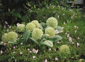 Decorative bow with lilac flowers in the garden design. Photos ornamental onions, variety