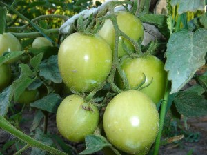 Maturation of green tomatoes. When to collect the tomatoes from the bushes. Tips gardener growing tomatoes