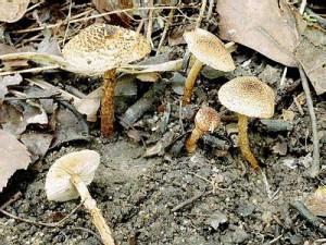 Poisonous Mushroom Red umbrella, photo and description of the fungus