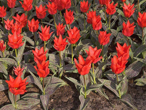 Perennial Greig tulips, Darwin Kauffman. Tulips Foster. Types perennial tulips for a garden plot. Tips florist