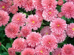 Caring for roses in pots in the garden. Proper care and cultivation of chrysanthemum flowers near the house in the country