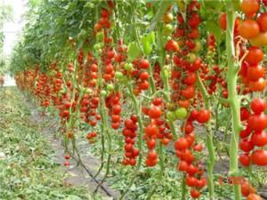 Уход за помидорами, выращивание. Как правильно ухаживать за помидорами. Как часто поливать помидоры. Болезни и лечение помидоров.