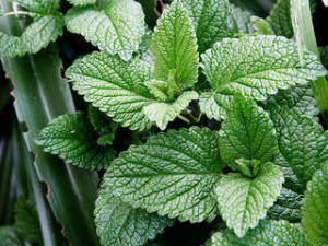 Growing mint in the apartment. How to properly care for mint. Planting and care of mint at home