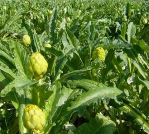 How to grow artichokes house in the country. Tips for growing artichoke gardener in the garden
