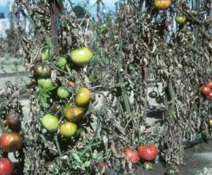 Tomato late blight disease than to treat