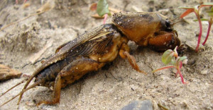 Cricket Beetle photo. How to destroy and to combat Medvedkov on the site. Beetle kills seedlings and young trees. What to do.