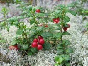 Recommendation for growing cranberries at home in the country. Photos berries, how to plant and water