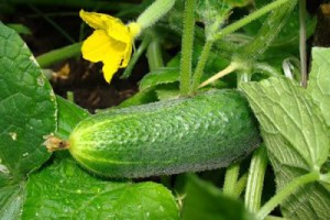 How to grow cucumbers in the apartment, taking care of seedlings, watered as needed. Advice to a beginning gardener