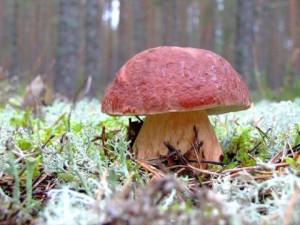 What is boletus edulis, where to look, photo and description. Edible mushrooms boletus family