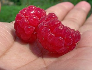 How to bend the raspberries to winter cover cropping. Caring for raspberries in the winter, the right advice from the gardeners!
