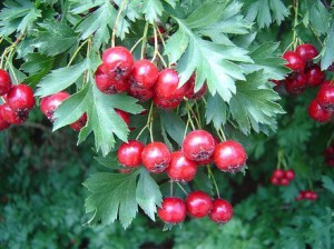 Shrub garden hawthorn, photo and description. Ethnoscience