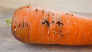 The fight against carrot fly, prevention, anti-pest in the garden. How to protect the fetus from the larvae, all ways