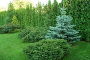 Landscape of coniferous plants, planting and care of bushes. Correct diagram photo