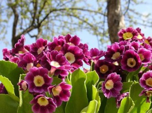 Красивый весенний цветок примула