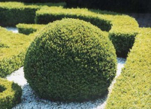 Buksus evergreen boxwood, care at home, photo and description