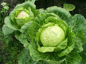 How to choose the right market good seedlings of cabbage. The recommendations of experienced gardeners