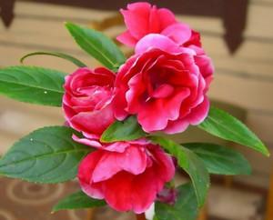 Beautiful garden balsam on a bed, photo