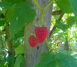 Why dry raspberry bush with berries