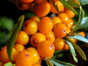 Description growing conditions, yield of sea buckthorn