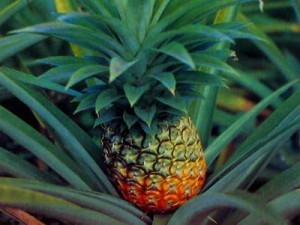 Council, how to grow a pineapple home