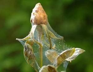 How to get rid of spider mites on indoor plants, pots