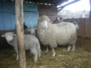 How does Askanian breed of sheep, description, characteristics, photos