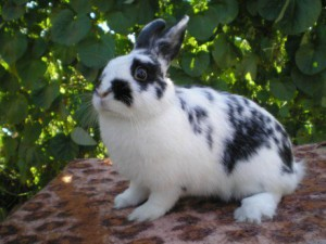 Rabbit decorative, butterfly breed description and photo