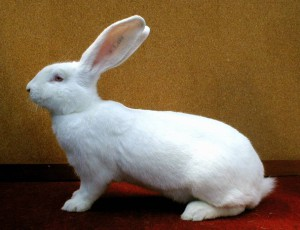 Big white rabbit breed giant photo and a description