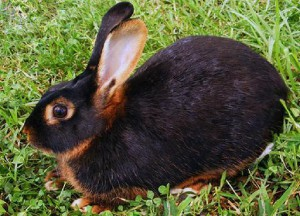 Black and brown rabbits, photo and description