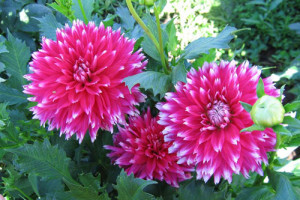 Beautiful flowers dahlias long-term care and cultivation in the open field, photo