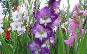 How are gladioli (photo). Terms of cultivation, care for flowers after blooming
