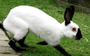 Russian ermine rabbit breed, photo and description