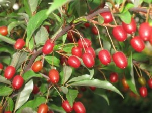 Berries gumi how to grow in the home in the Ukraine and Russia, the description. Care, pruning, propagation