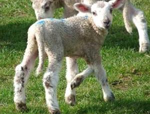Care of the newborn lamb and lambs, description, photos