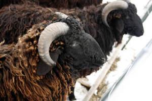 Karakul sheep, breed description, characteristics and photos