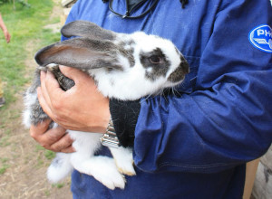 Methods of castration of rabbits at home, with your own hands. Tips, photos and step by step instructions
