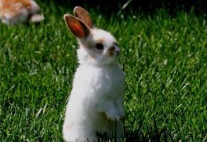 Rabbits disease - colibacillosis, description, steps of treatment and prevention