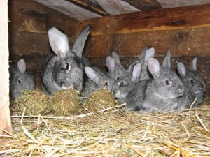 What is right and how to feed the rabbit during lactation - advice