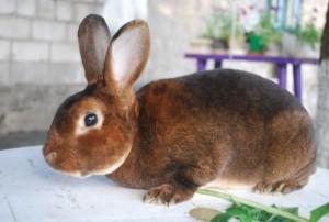 Rabbits Chinchilla Rex, photos and description