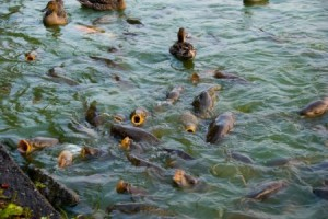 Breeding carp in the pond as a business at home, on a site in the country in a steady pool or pond
