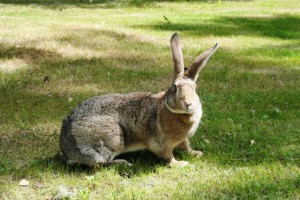 Gray breed giant bunnies keeping, breeding, photo and description